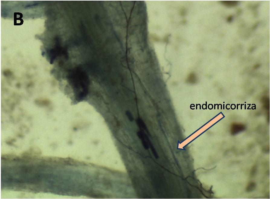 micorriza B