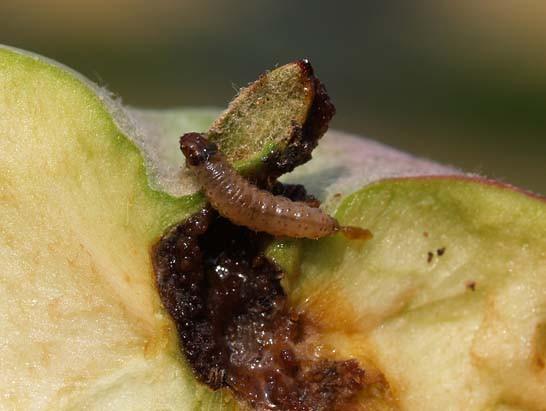 Larva di C. pomonella