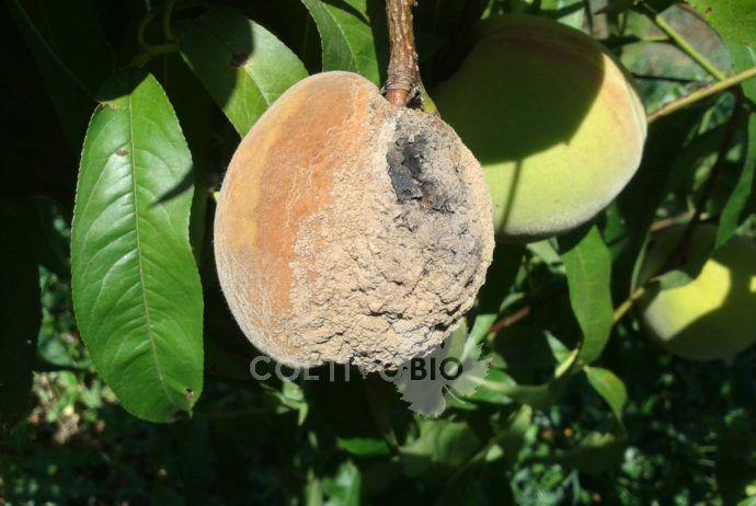 Monilia o marciume dei frutti e delle drupacce coltivobio for Monilia del pesco