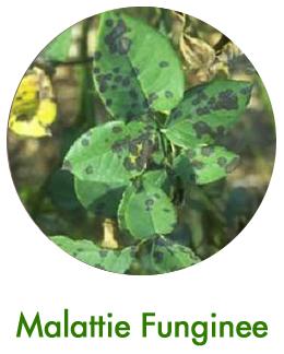 Malattie Fungine