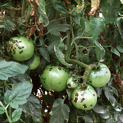 danni da maculatura batterica su pomodoro