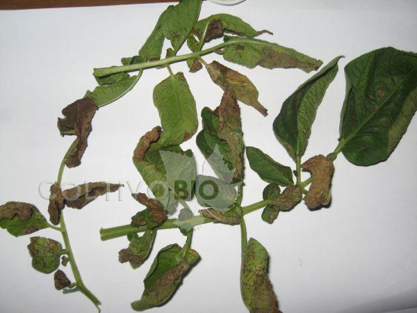 peronospora patata 2
