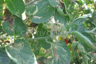 Danni da tignola del pomodoro su foglie