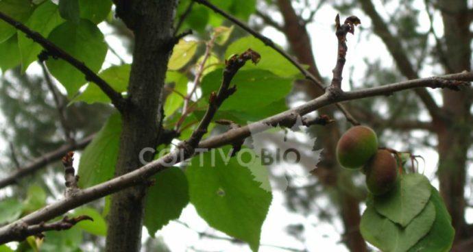 danni da monilia su ramo