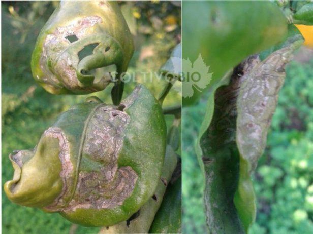 Danni da minatrice serpentina del limone e degli agrumi