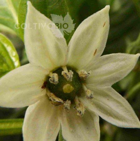 tripidi su fiore