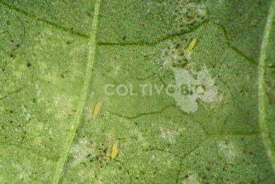 Larve di tripide su foglia di melanzana. Sono visibili i danni da nutrizione