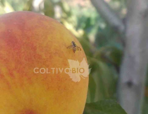 mosca della frutta