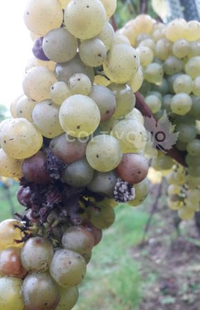 danni da botrite su uva in fase di invaiatura