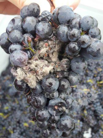 danni da botrite (Botrytis cinerea) su uva in raccolta