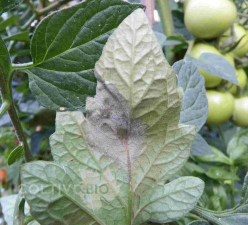 sintomi di peronospora su foglia di pomodoro con evidente formazione di muffeta biancastra