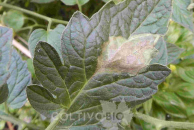 danni da peronospora del pomodoro su foglia
