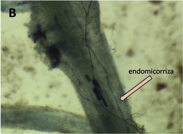 endomicorrize nella radice