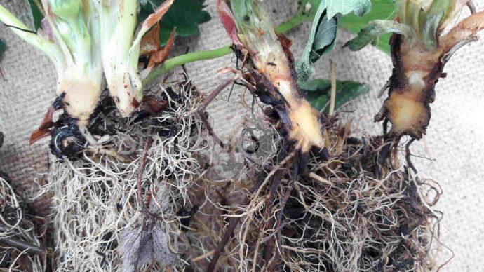 Differenza tra pianta sana e attaccata da marciume del colletto